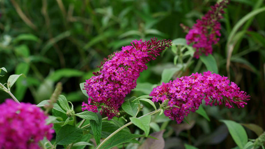 Budleja Dawida ma bardzo efektowne kwiaty -  7monarda/stock.adobe.com