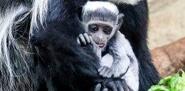 W Zoo urodziła się biała małpka!