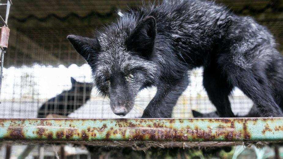 Uratowane lisy są w fatalnym stanie, fot. Otwarte Klatki