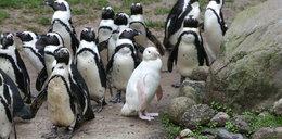 Szczęście w zoo w Gdańsku. Stado zaakceptowało pingwina albinosa!