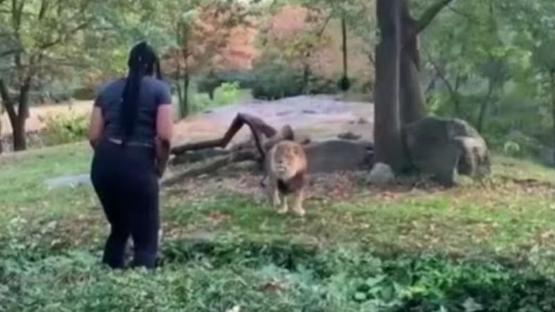 Egy nő bemászott az oroszlán ketrecébe az állatkertben