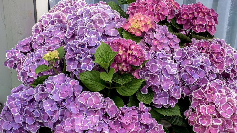 Hortensja posiada bardzo efektowne kwiaty - simta/stock.adobe.com