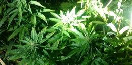 22-latek wpadł podczas pielęgnowania plantacji marihuany