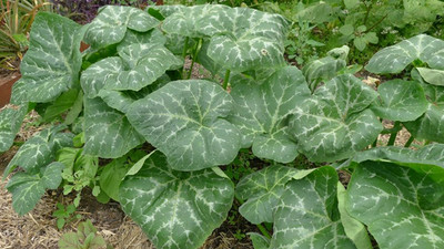Pumpkin leaf: The health benefits of this plant are unbelievable