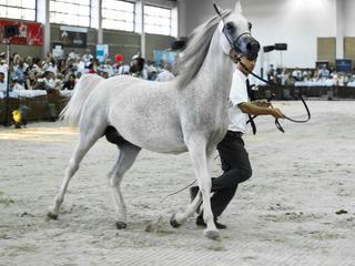 Arabian Horses Auction in Janow Podlaski