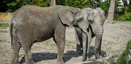 Warszawskie słonie na haju?