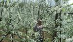 Poljoprivrednici već zbrajaju štetu zbog aprilskih nepogoda: Sneg i mraz uništavaju voće i umanjuju rod