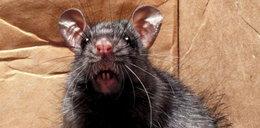 Horror w domu! Szczur wyszedł mu z sedesu