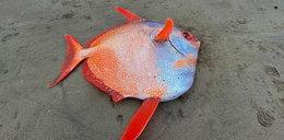 Olbrzymie rzadkie zwierzę znalezione na plaży. Teraz badają je naukowcy