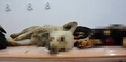 Znaleziono cztery bestialsko zakatowane psy