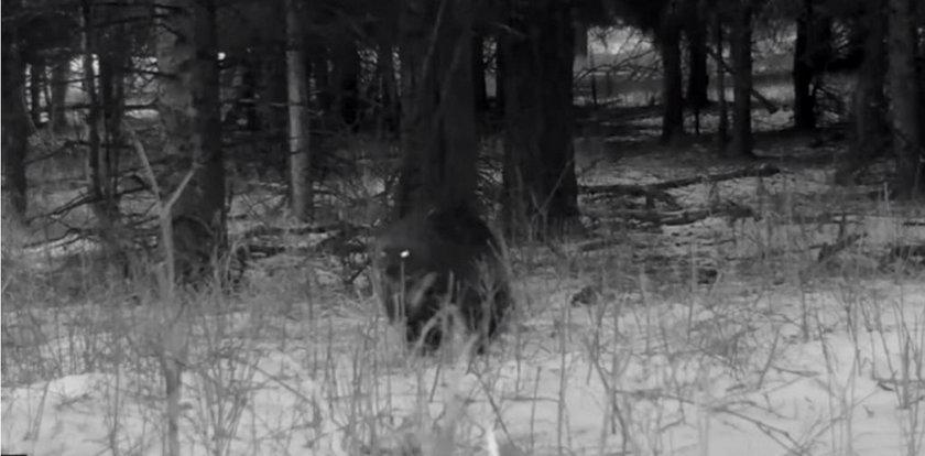 Pracownicy parku przecierali oczy ze zdumienia. Zobacz, co uchwyciła fotopułapka!
