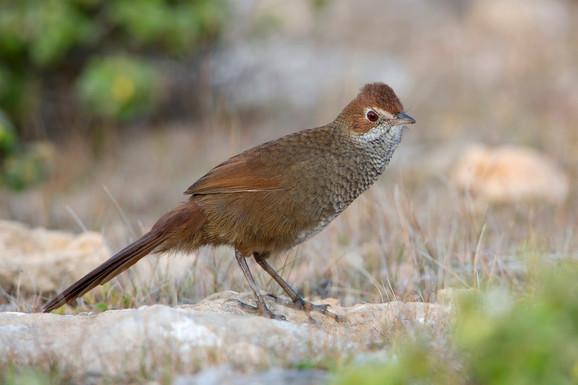 Ugrožena vrsta ptice Dasyornis brachypterus