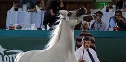 Koniec słynnej aukcji koni. Nie będzie Pride of Poland