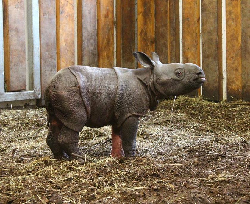 Mały nosorożec ma różwoą łapkę