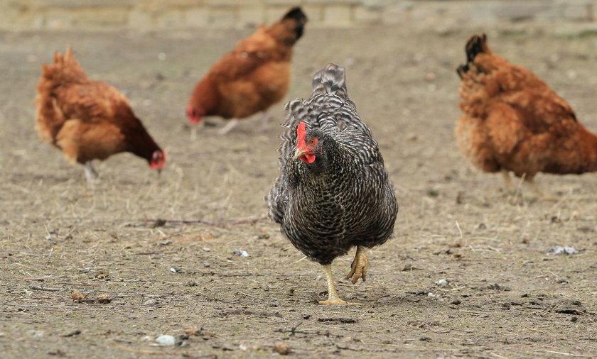 Kury od 6 kwietnia znów mogą swobodnie spacerować