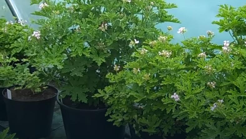 Pelargonia o pachnących liściach (Pelargonium citrosum)
