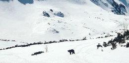 Niedźwiedź skorzystał z nieobecności turystów. Wybrał się do Doliny Pięciu Stawów