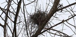 Nie zetną drzewa przez opuszczone gniazdo