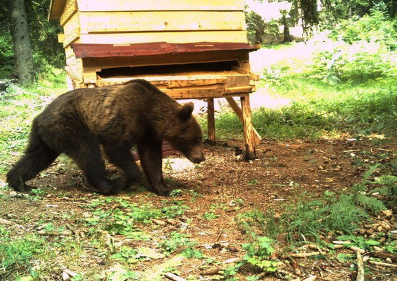 Jedan od tri mrka medveda sa Zlatara i Jadovnika na hraništu za orlove