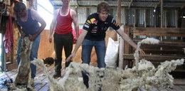 Mistrz zabawia się z owcami. FOTY