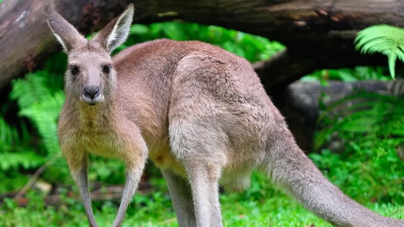 DNA kangura zsekwencjonowane