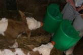 Krava otelila tri teleta RAS Beba Bojović