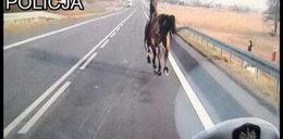 Koń galopował po drodze krajowej! Zobacz wideo!