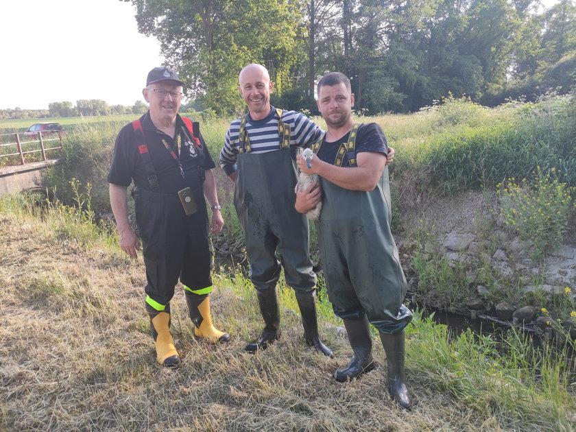 Strażacy ratowali małego łabędzia
