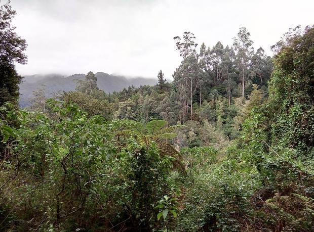 Pierwotny las wawrzynowy na Maderze