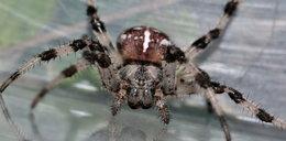 Boisz się pająków? Lepiej unikaj tego koloru