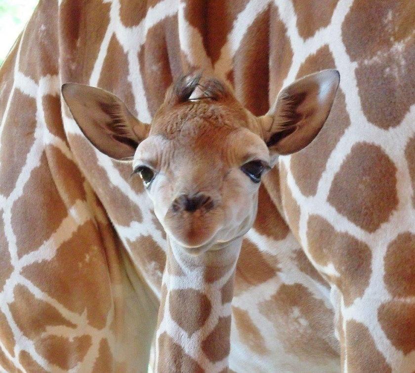 Chorzów. Narodziny żyrafki w Śląskim Ogrodzie Zoologicznym