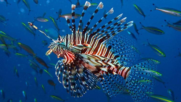 lionfish shutterstock_1385927072