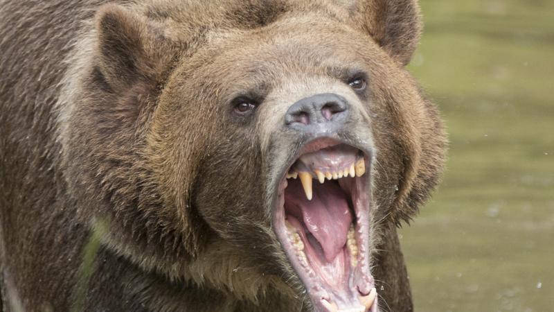 Niedźwiedź gonił rowerzystę w Malino Brdo na Słowacji