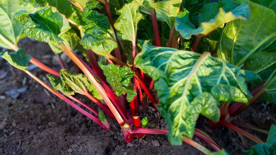 Jak uprawiać rabarbar w ogrodzie?