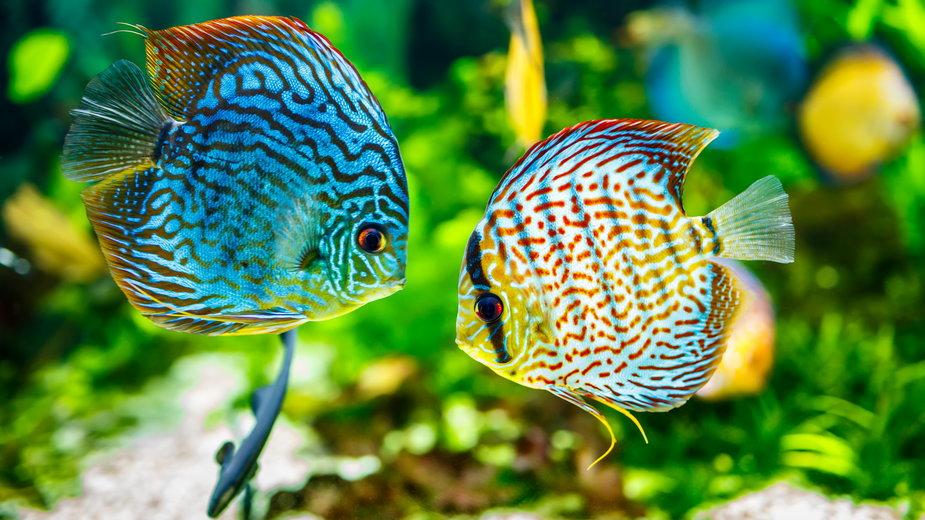 W sklepach zoologicznych można zakupić różne gatunki paletek - Andrey Armyagov/stock.adobe.com