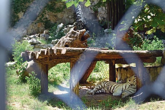 Opasne mačke su glavne spavalice, probude se tek toliko da promene poziciju u hladu