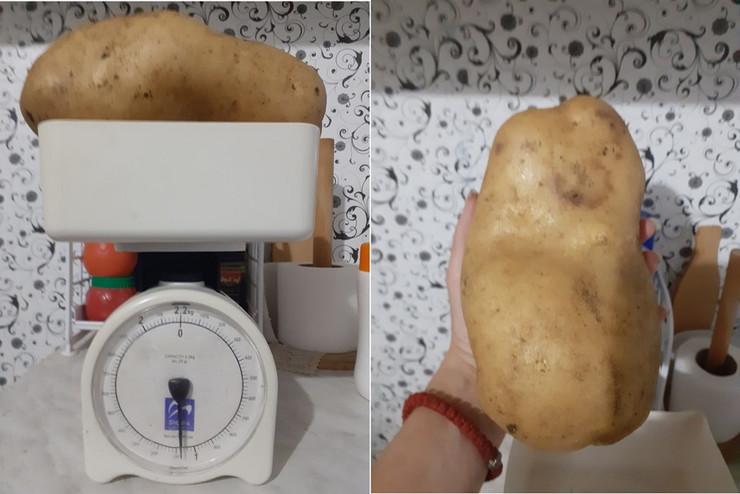 najveći krompir topola