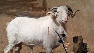 Voici 5 conseils pour bien choisir son mouton pour l'Eid