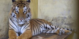 """""""Płaczemy. (...) Umieramy z niepokoju"""". Co dalej z uratowanymi tygrysami? Wzruszający komentarz pracowników zoo"""