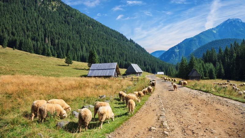 Owce, Dolina Chochołowska