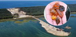 Bursztynowa gorączka na przekopie Mierzei Wiślanej! Morze wyrzuca ponad 100-gramowe bryły