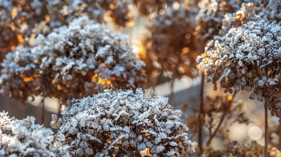 Niektóre rośliny są mrozoodporne i nie wymagają okrywania na zimę - Roman Milert/stock.adobe.com