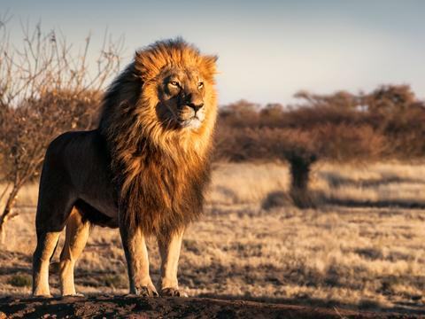Lions attacked poachers  They hunted on the rhino in the reserve
