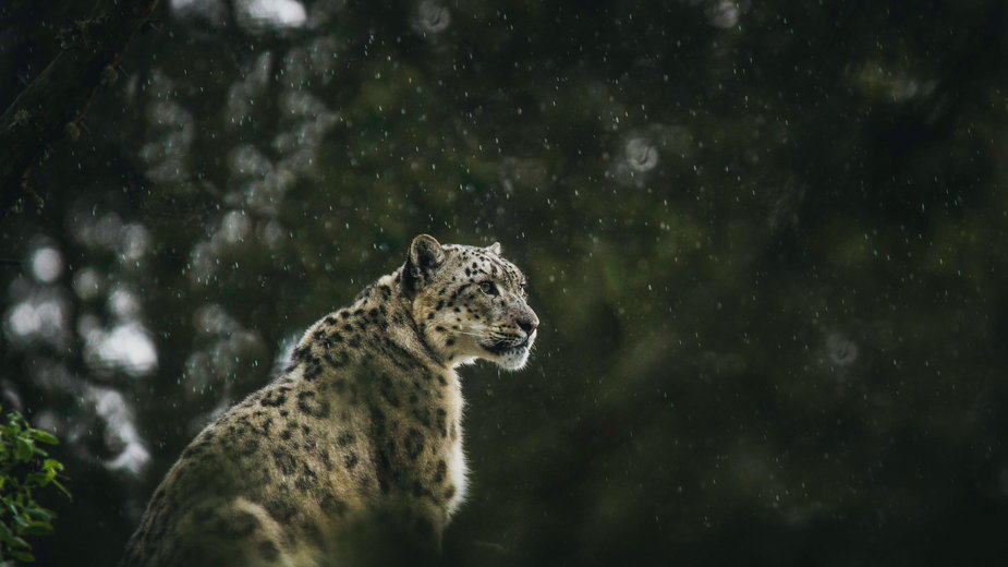 Irbis, nazywany panterą śnieżną, jest zagrożony wyginięciem.