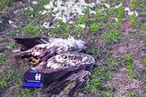 orao poslednji slucaj foto Društvo za zaštitu i proučavanje ptica Srbije