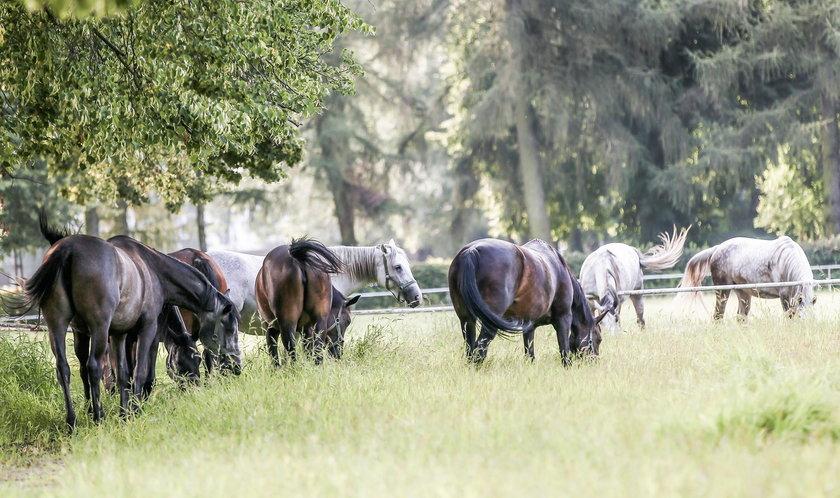 Konie ze stadniny