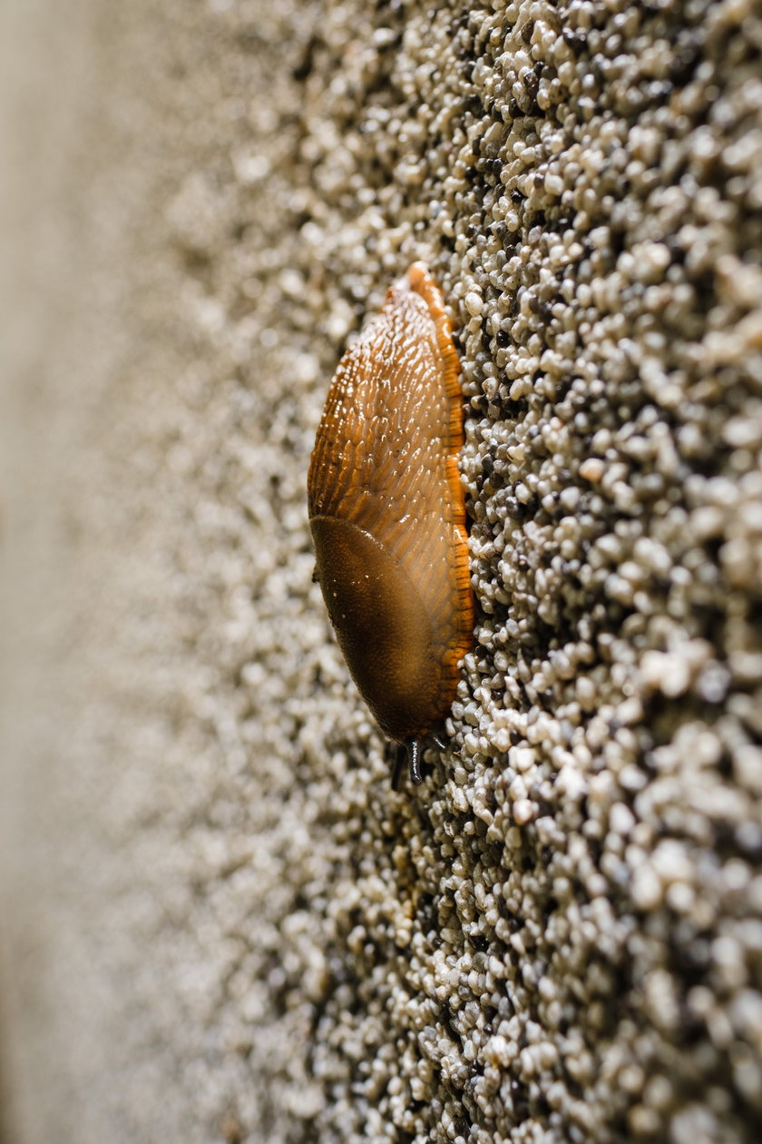 Każdego dnia ludzie zbierają do wiader setki ślimaków