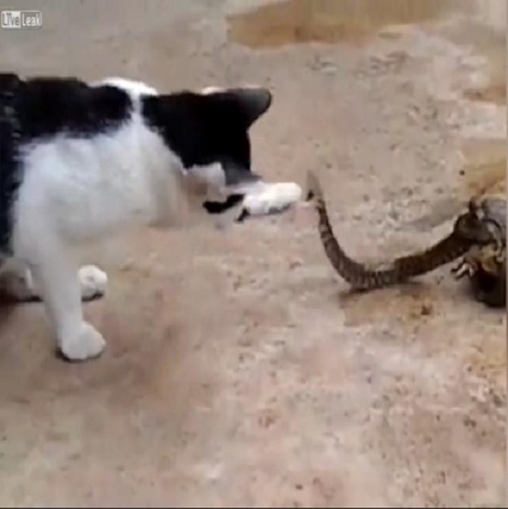 mačka žaba zmija