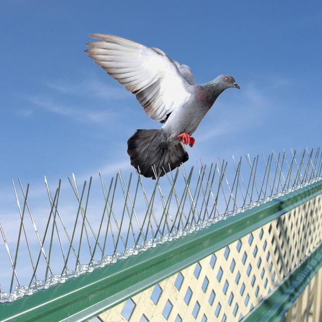 Šiljci protv golubova