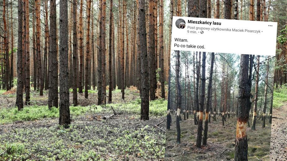 Internet obiegły zdjęcia drzew częściowo obdartych z kory